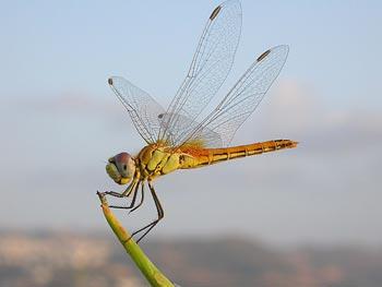 (La libélula.)