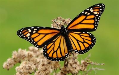 (Se conocen cerca de 20.000 especies de mariposas)